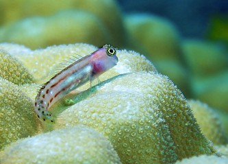 Reef-dwelling fish - Diving Anambas