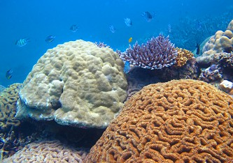 Thriving coral species - Diving Anambas
