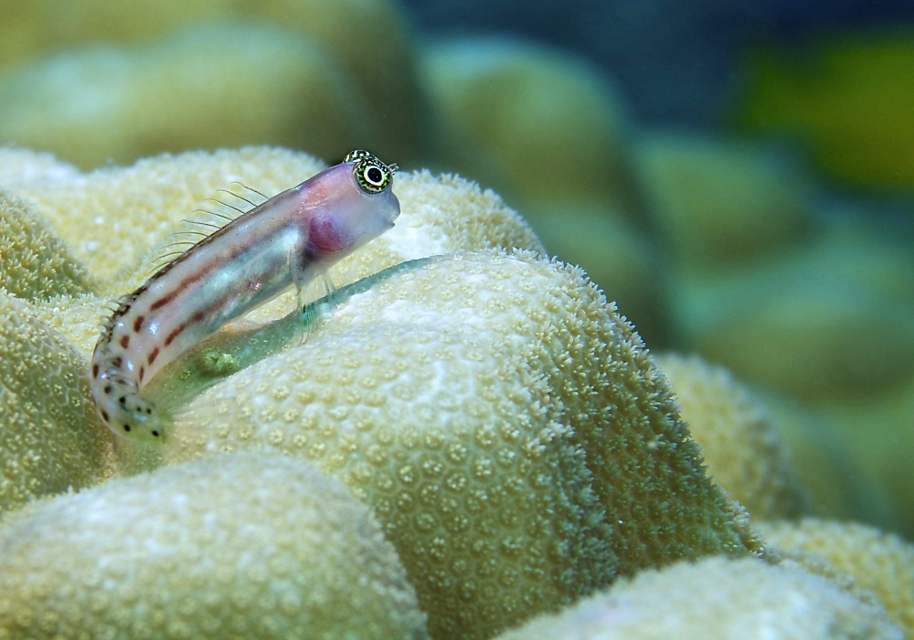 Goby fish on the lookout for a mate